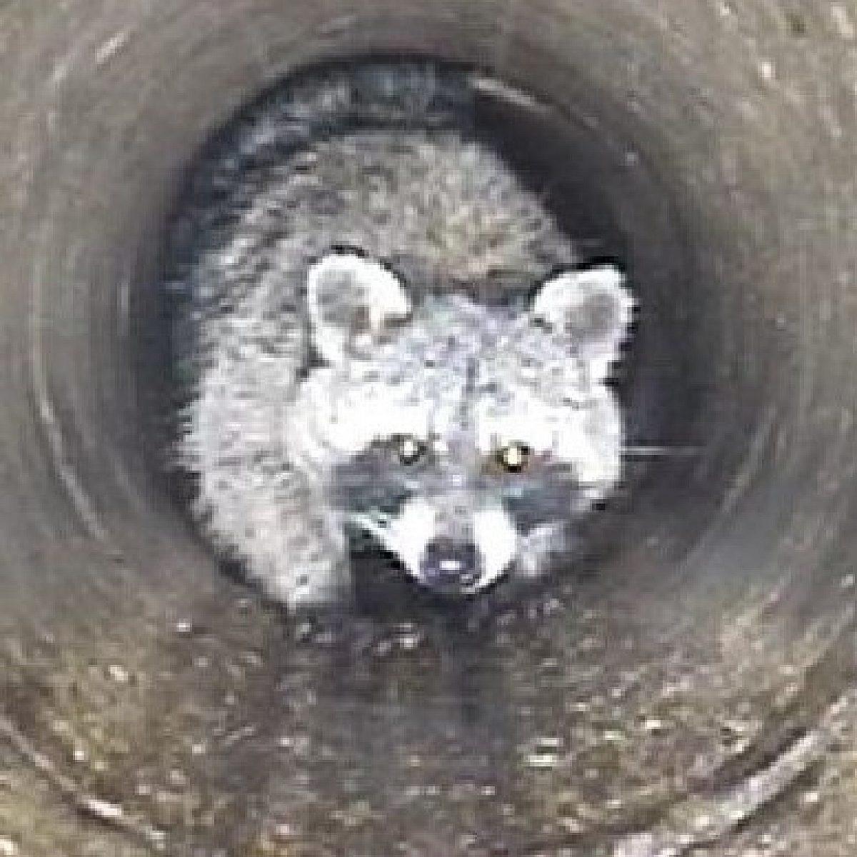 Das Bild zeigt einen Waschbären in einem Kanalrohr, der frontal in die Kamera blickt.
