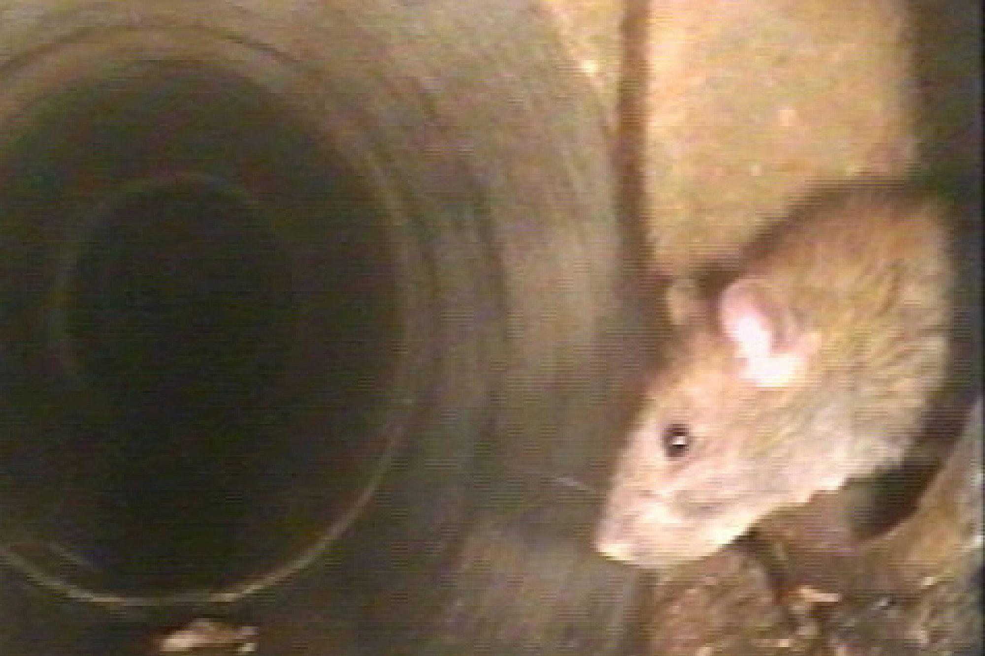 Die Aufnahme zeigt den Blick in ein Kanalrohr, von der rechten Seite ragt am Bildrand aus einem Einlauf der Kopf einer Ratte hervor.